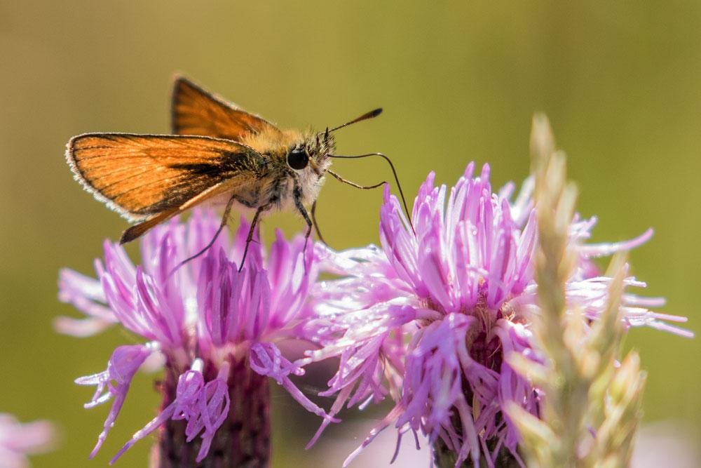 I34 Dickkopffalter / skipper butterfly