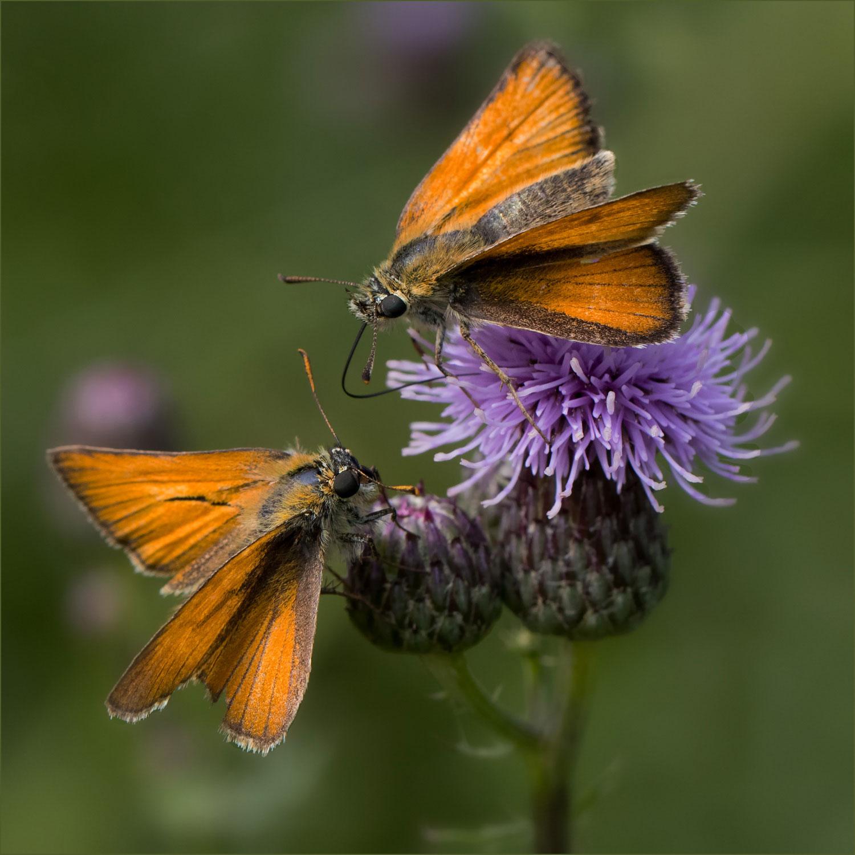 I39 Dickkopffalter /skipper butterfly