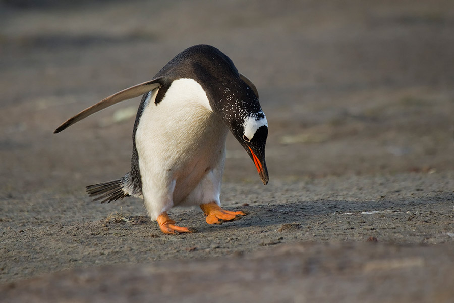 A02 Falklands, Carcass Island, Eselspinguin / gentoo penguin