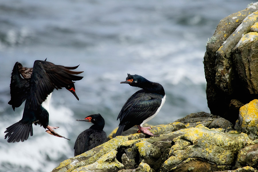 A05 Falklands, Carcass Island, Felsenscharbe / magellan cormorant