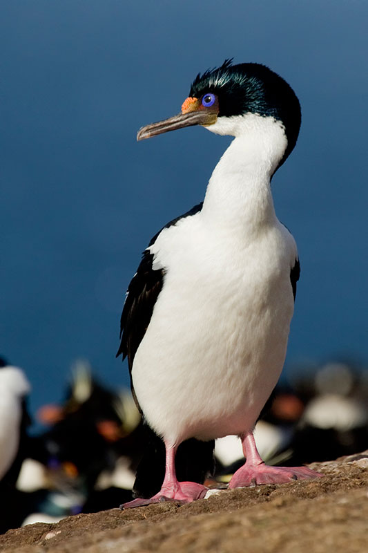 A10 Falklands Saunders Island, Blauaugenkormoran / blue-eyed cormorant