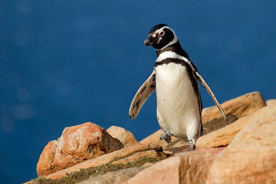 A19 Falklands, Saunders Island, Magellanpinguin / magellanic penguin