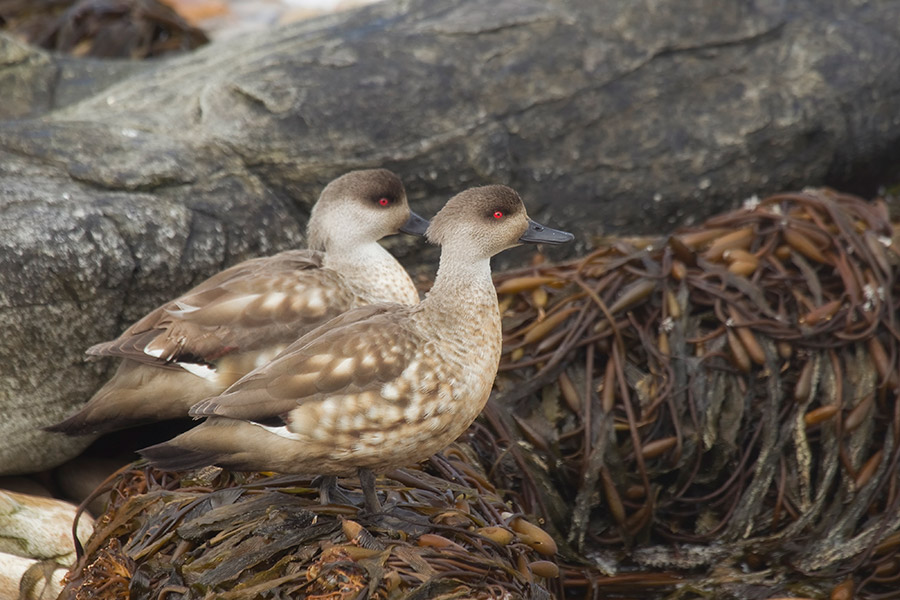 A20 Falklands, Saunders Island, Schopfente / crested duck
