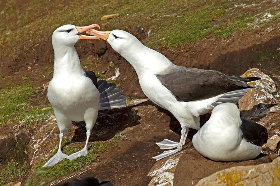 A21 Falklands, Saunders Island, Schwarzbrauenalbatros / black-browed albatross