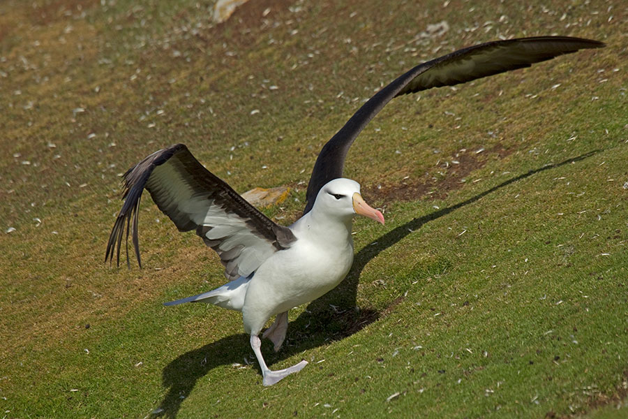 A22 Falklands, Saunders Island, Schwarzbrauenalbatros / black-browed albatross