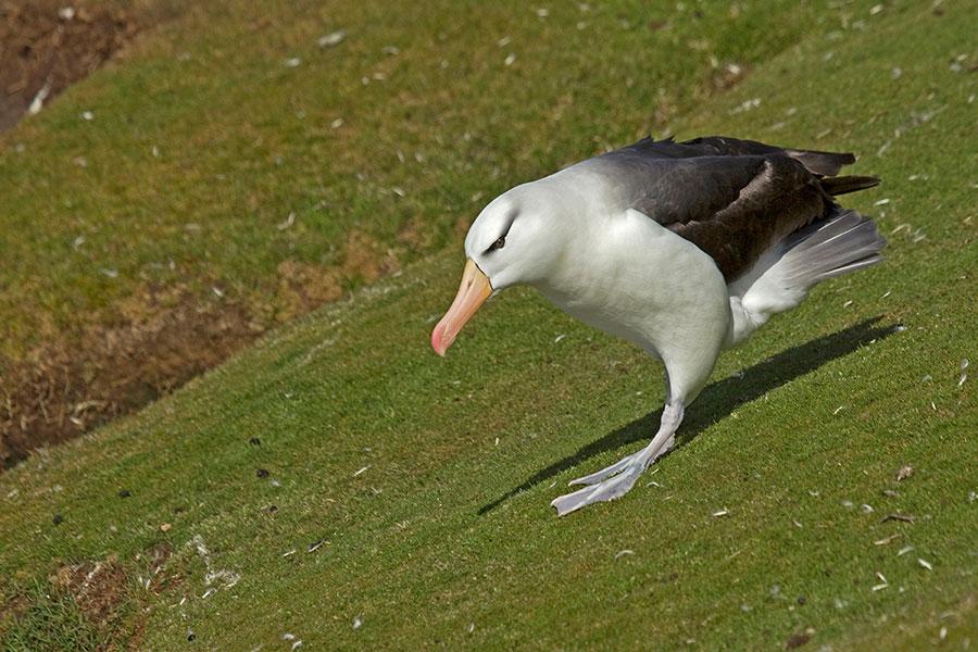 A23 Falklands, Saunders Island, Schwarzbrauenalbatros  / black-browed albatross