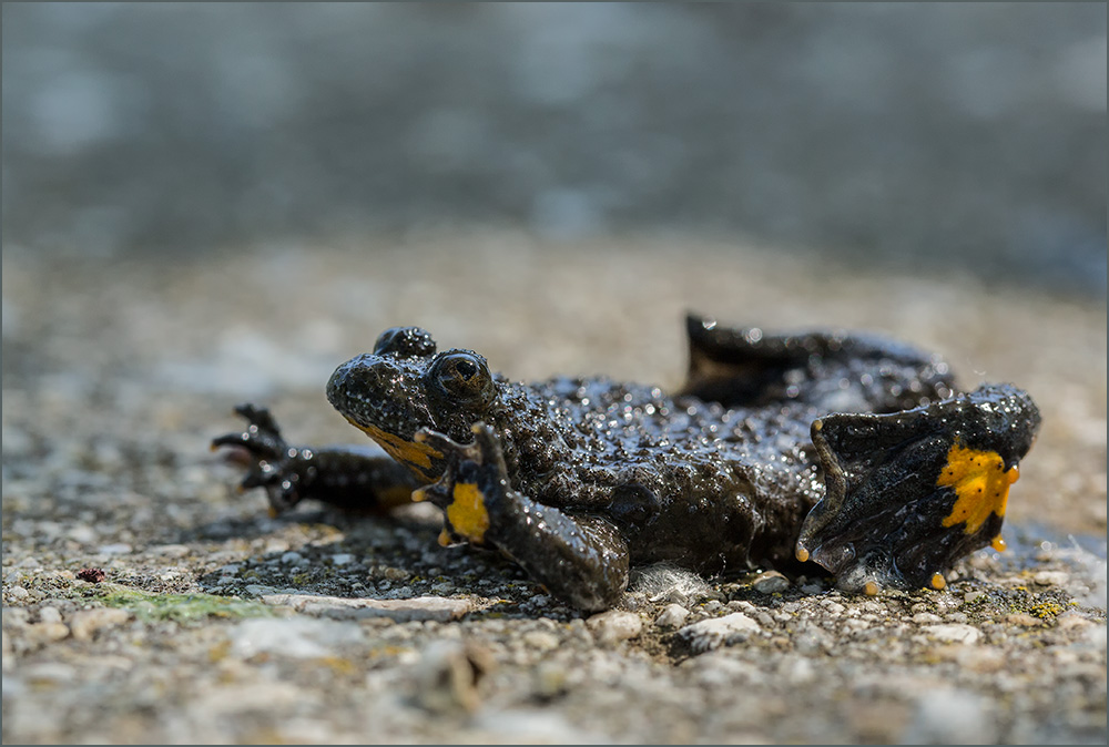 BG18 Gelbbauchunke / yellow-bellied toad