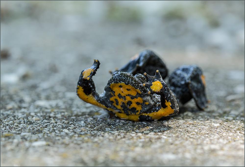 BG19 Gelbbauchunke / yellow-bellied toad