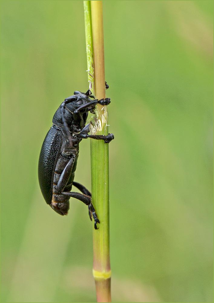 BG24 Fallkäfer / case beetle