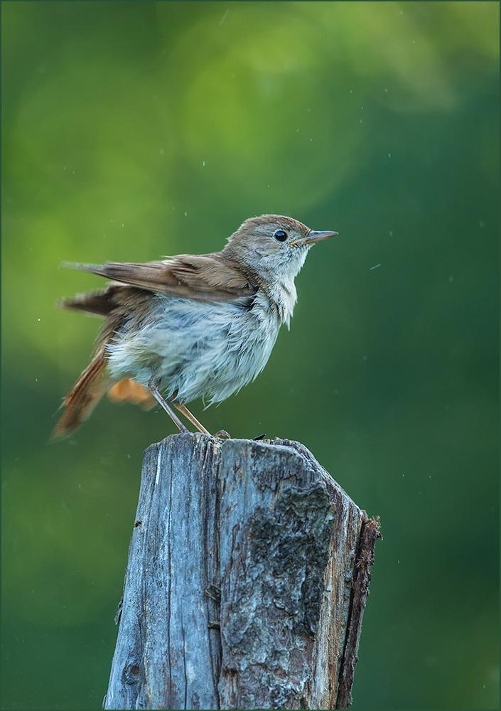 BG39 Nachtigall / nightingale