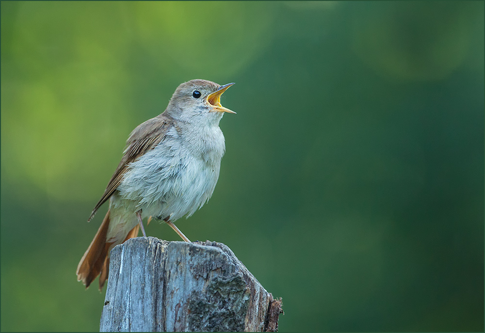 BG40 Nachtigall / nightingale