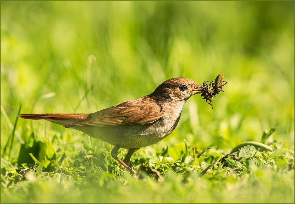 BG41 Nachtigall / nightingale