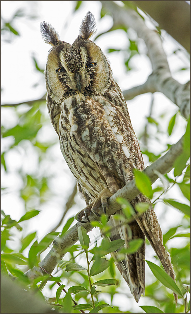 BG58 Waldohreule / long-eared owl