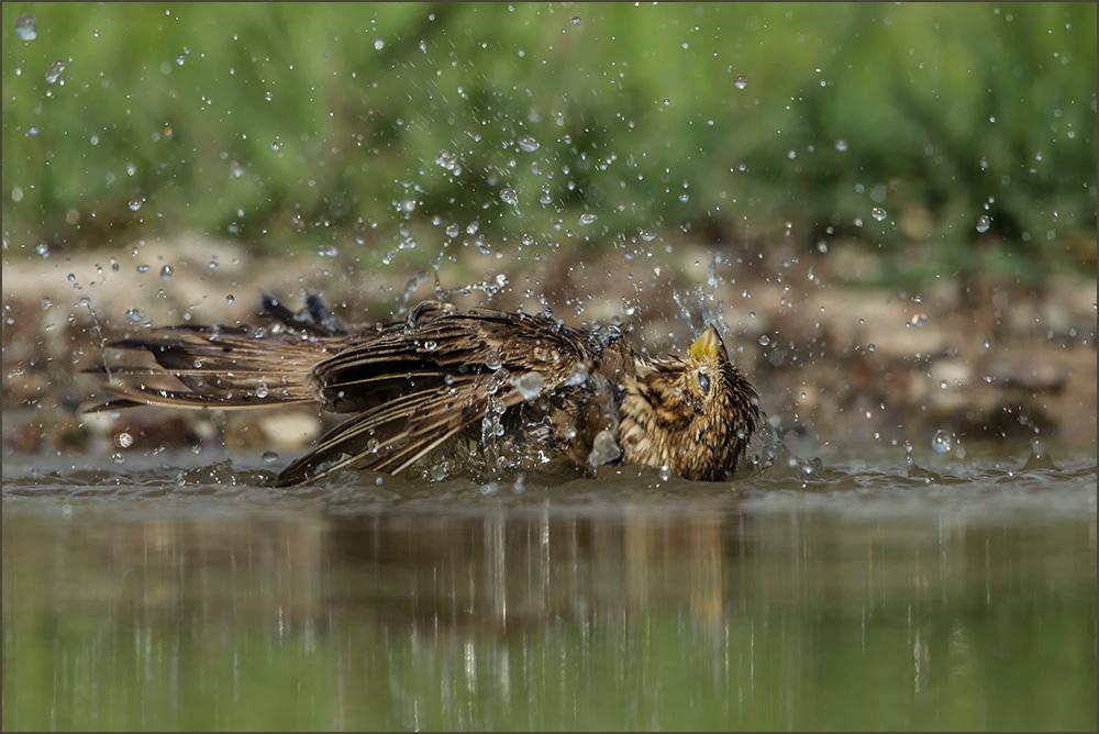 BG60 Weidensperling / spanish sparrow