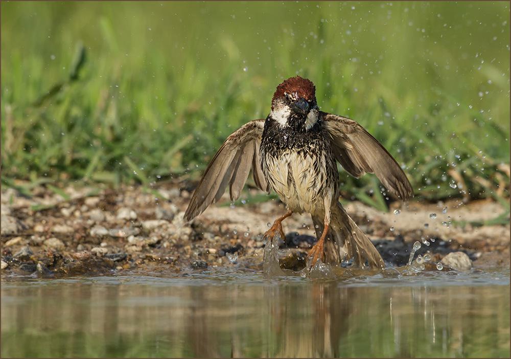 BG61 Weidensperling / spanish sparrow