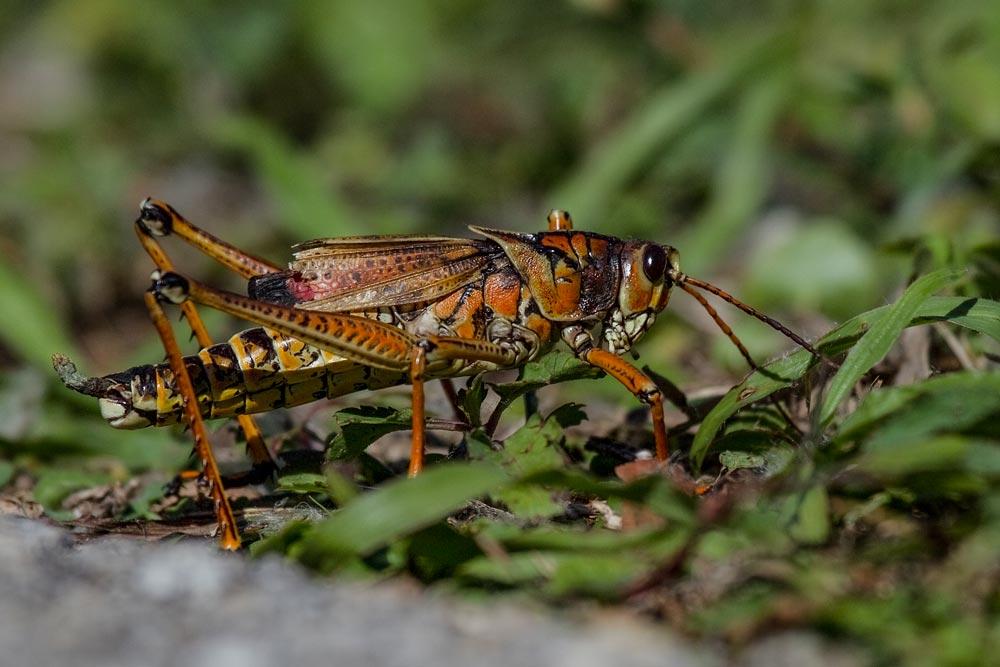 FL039 Heuschrecke / grasshopper