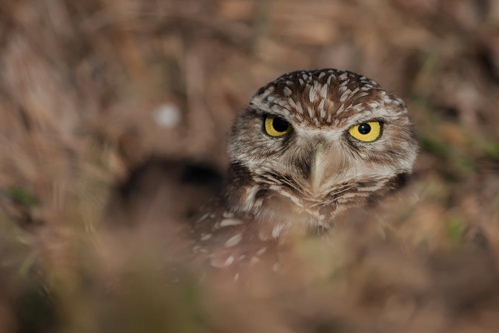 FL048 Kaninchenkauz / burrowing owl