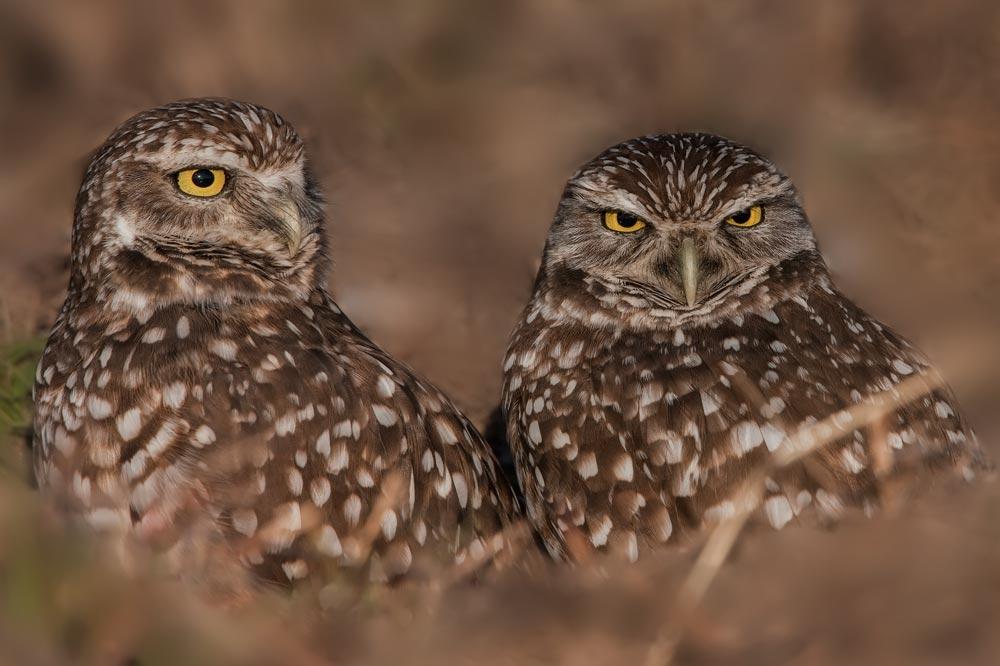 FL049 Kaninchenkauz / burrowing owl