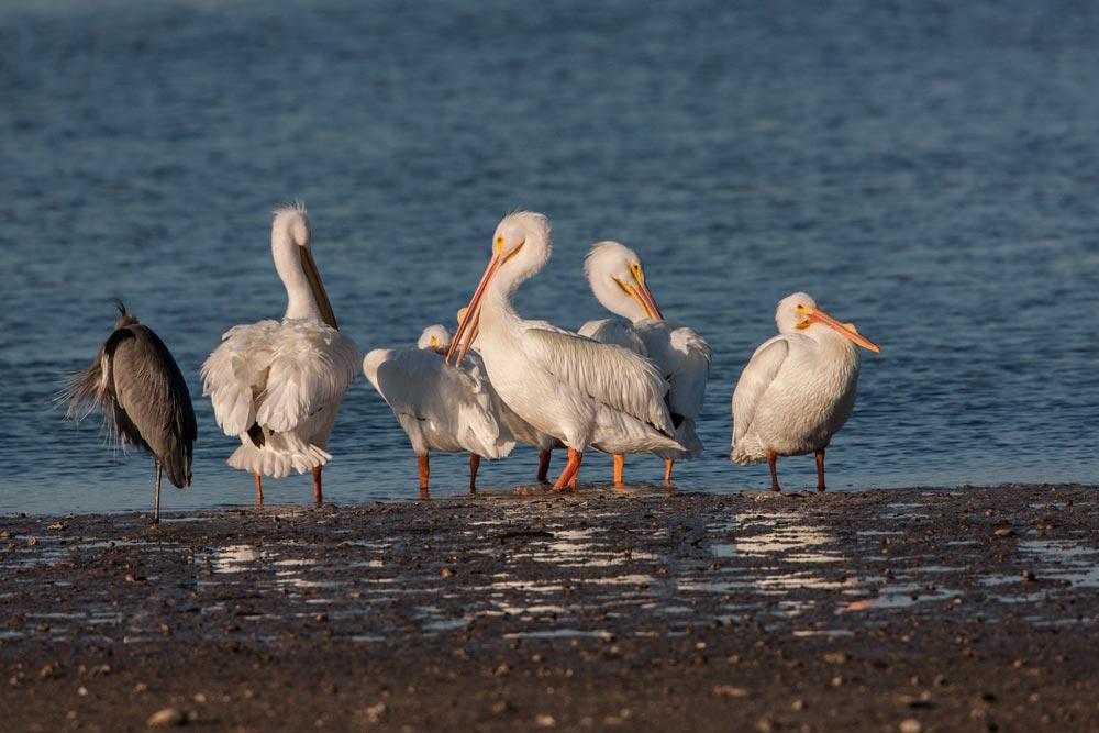 FL057 Nashornpelikan / american white pelican
