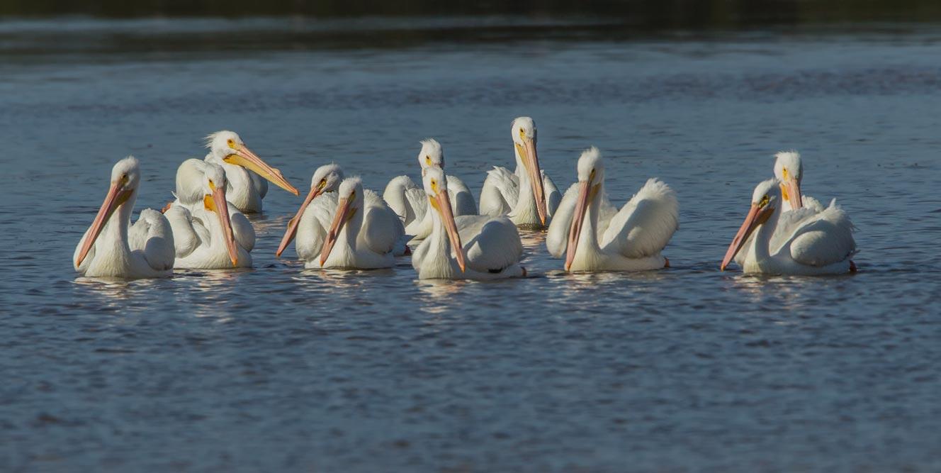 FL058 Nashornpelikan / american white pelican