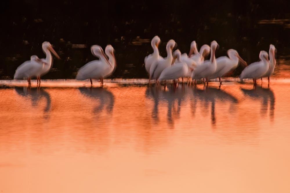 FL059 Nashornpelikan / american white pelican