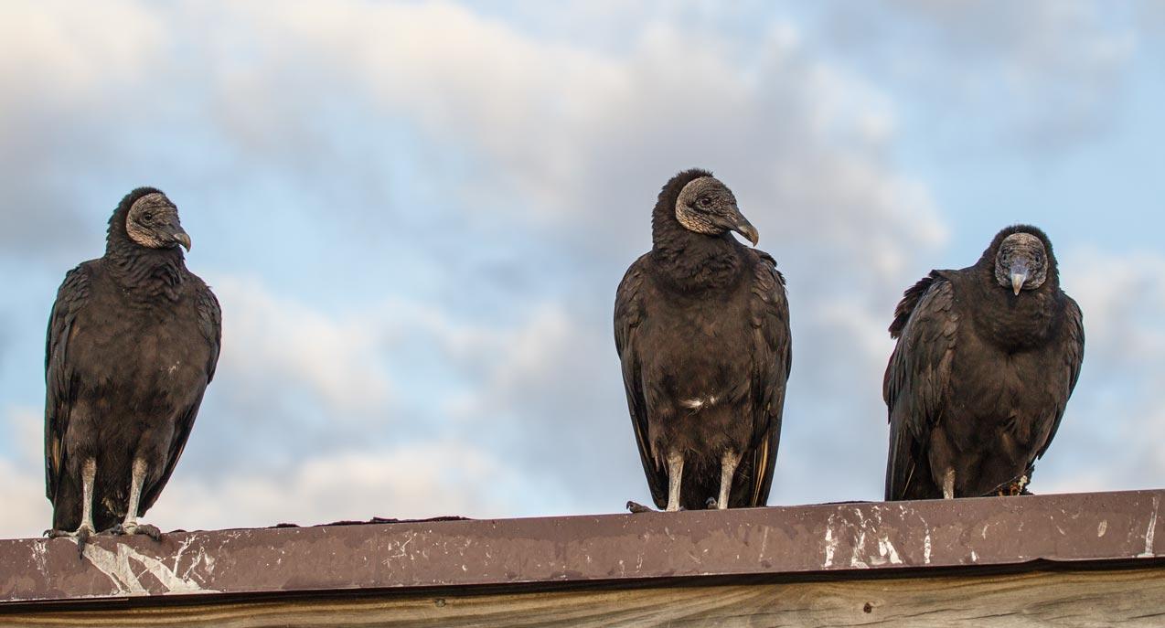 FL061 Rabengeier / american black vulture