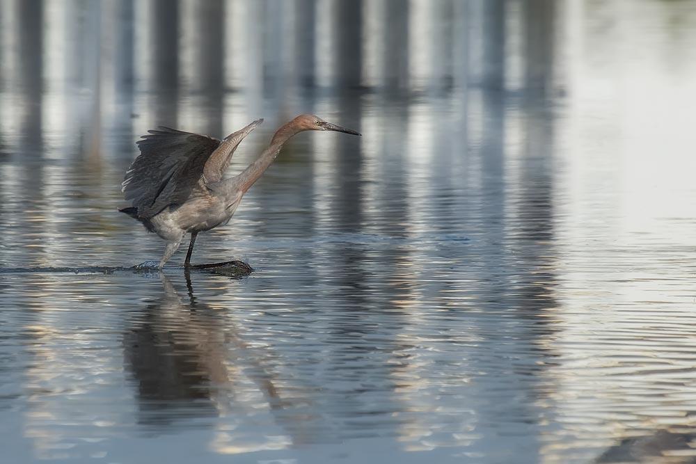 FL064 Rötelreiher / reddish egret