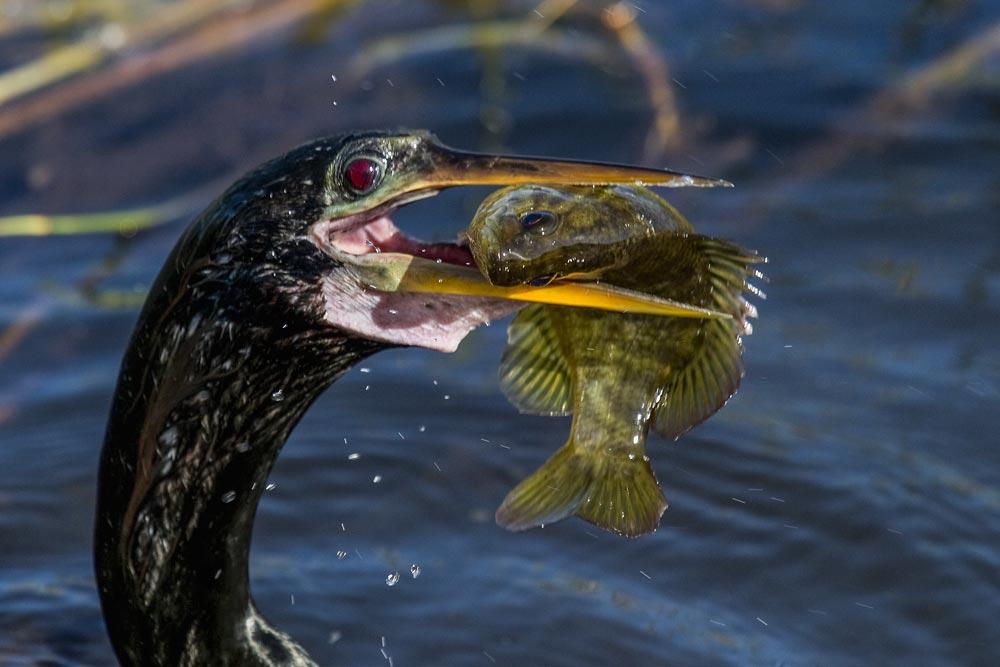FL083 Schlangenhalsvogel / american darter