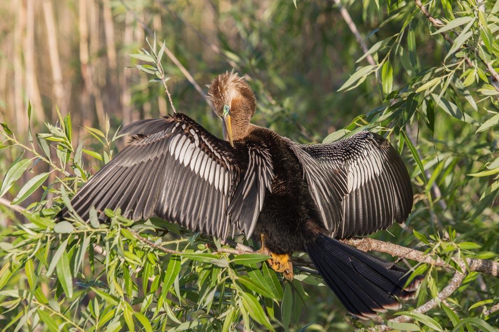 FL085 Schlangenhalsvogel / american darter