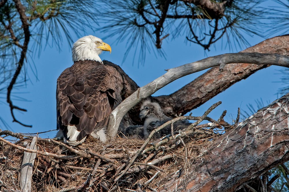 FL102 / Weisskopfseeadler / bald eagle