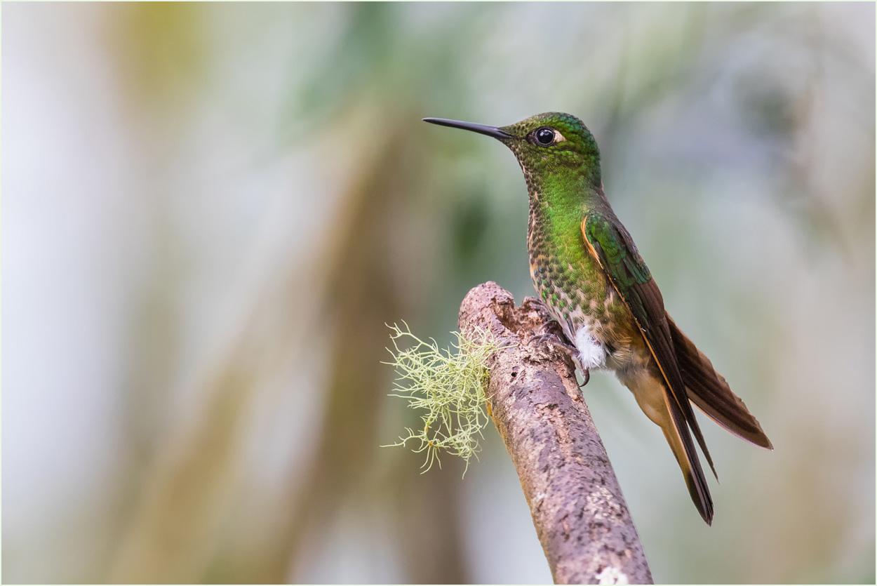 GP002 Quito - Fahlschwanz-Kolibri / Buff-tailed Coronet
