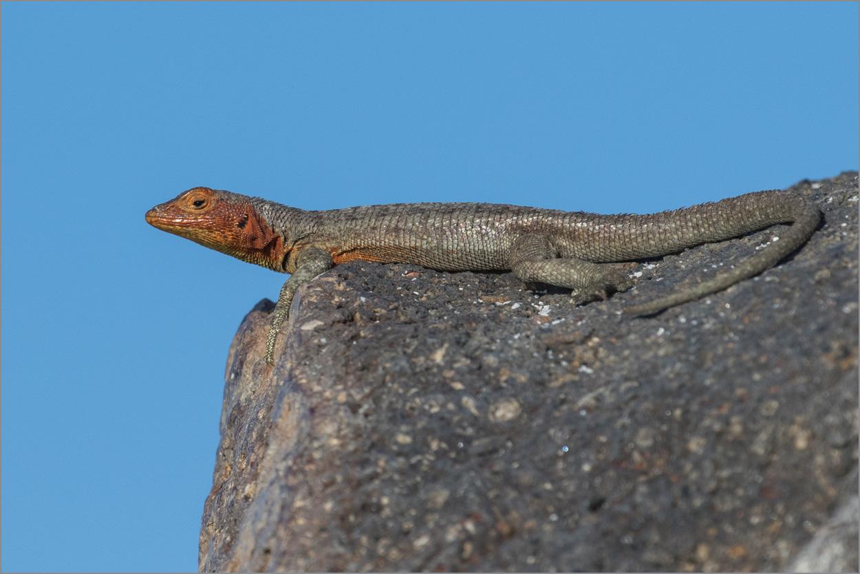 GP007 Baltra - Lavaechse / Lava-Lizard