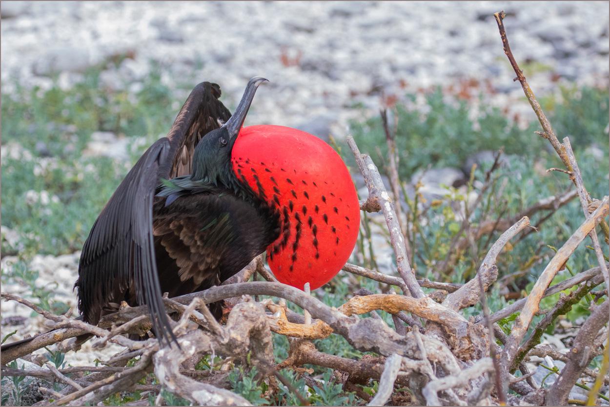 GP018 Genovesa - Fregattvogel / Frigate Bird