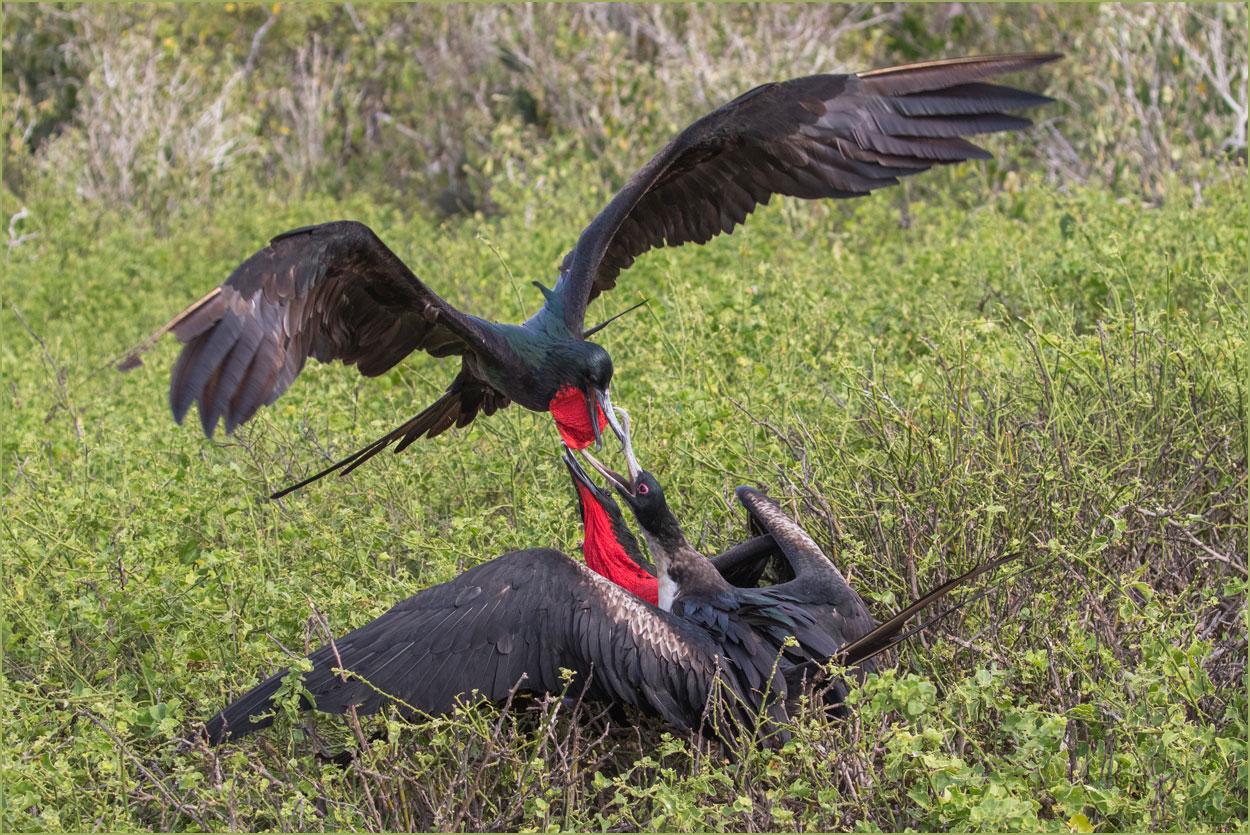 GP021 Genovesa - Fregattvoegel / Frigate Birds