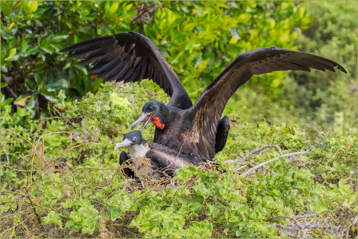 GP022 Genovesa - Fregattvoegel / Frigate Birds