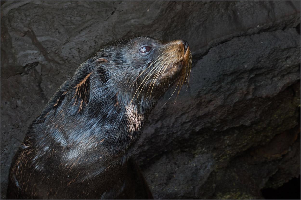 GP026 Genovesa - Pelzrobbe / Fur Seal