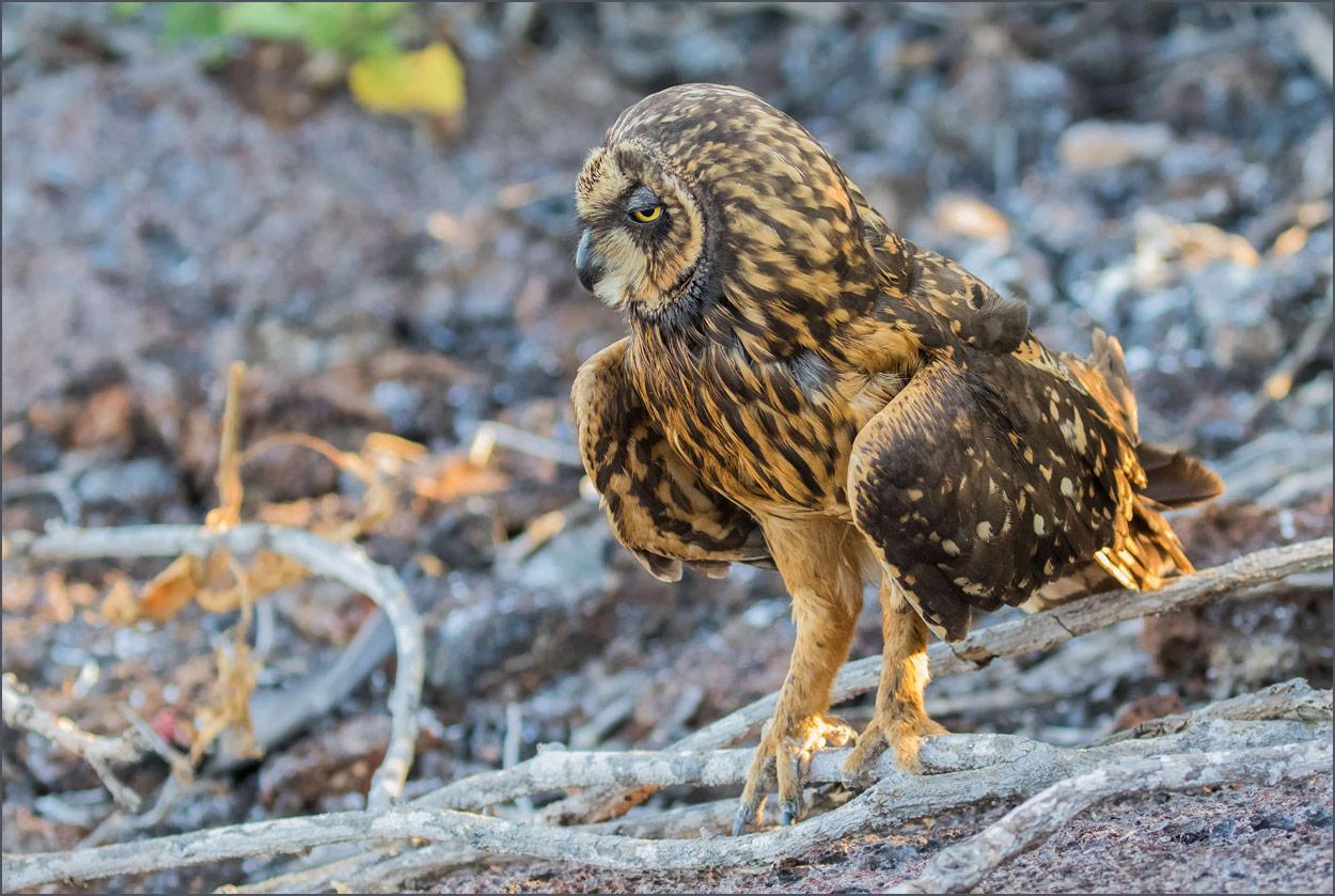 GP029 Genovesa - Sumpfohreule / Shorrt-Eared Owl