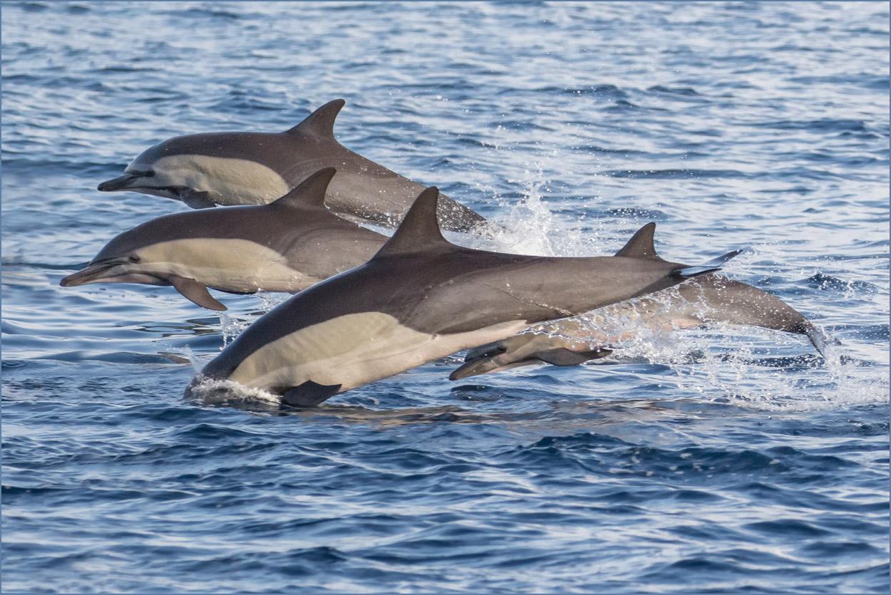 GP031 Marchena - Delfine / Dolphins