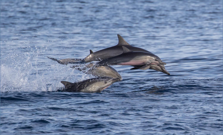 GP032 Marchena - Delfine / Dolphins