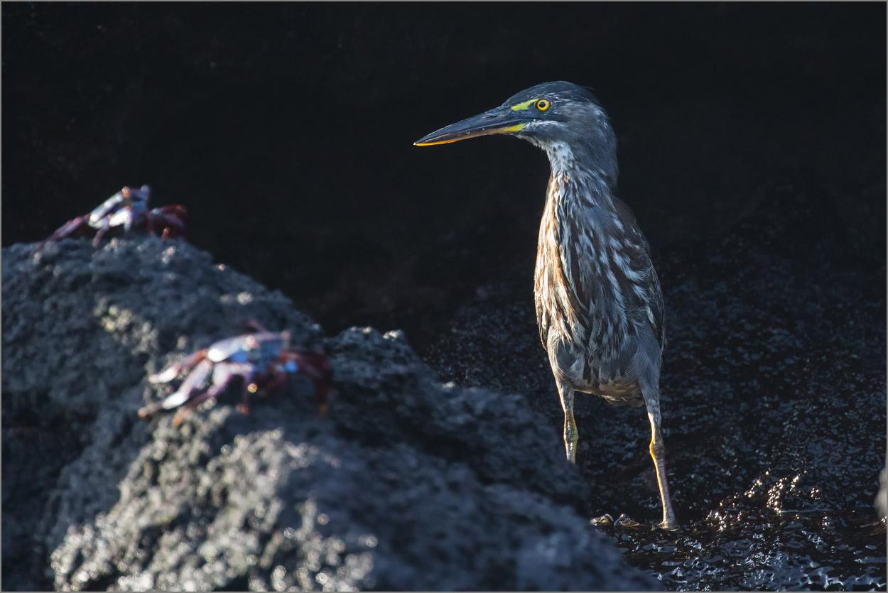 GP049 Isabela - Mangrovenreiher / Striated Heron