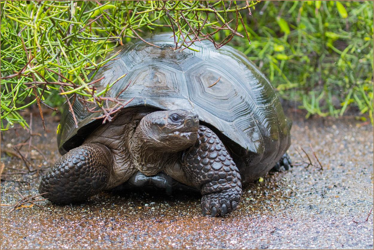 GP078 Isabela - Riesenschildkroete / Giant Tortoise