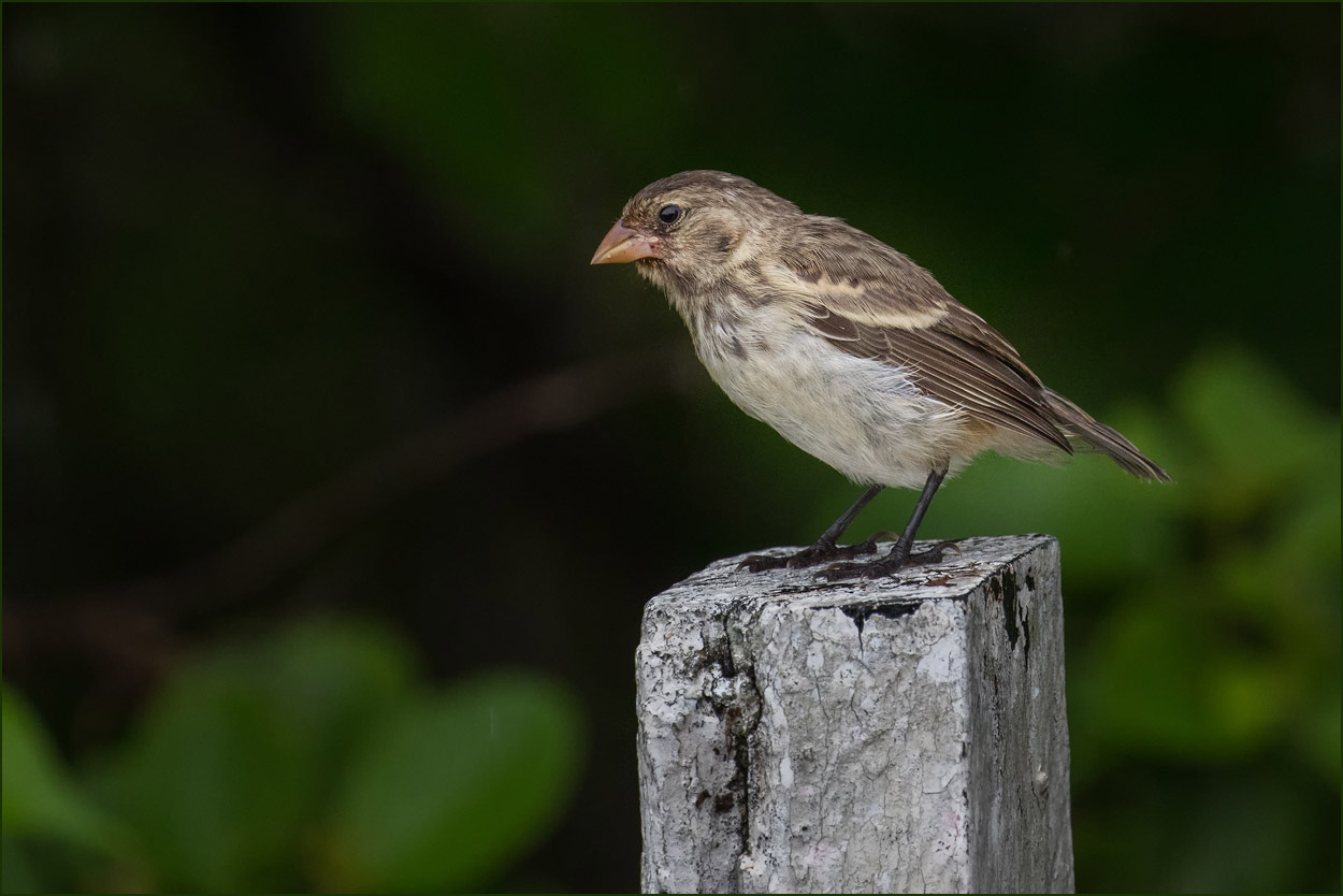 GP079 Isabela - Darwinfink / Darwin Finch