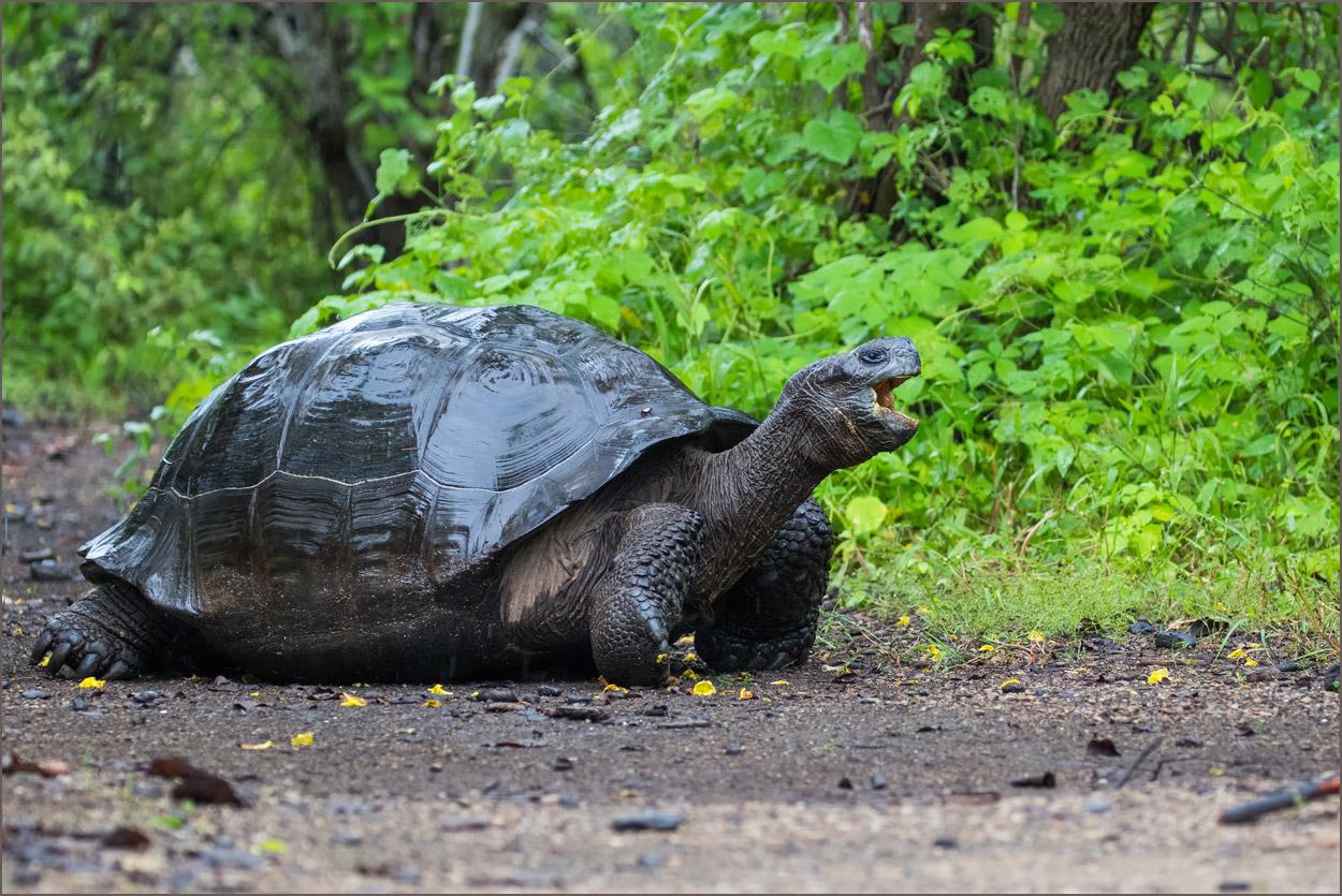 GP080 Isabela - Riesenschildkroete / Giant Tortoise