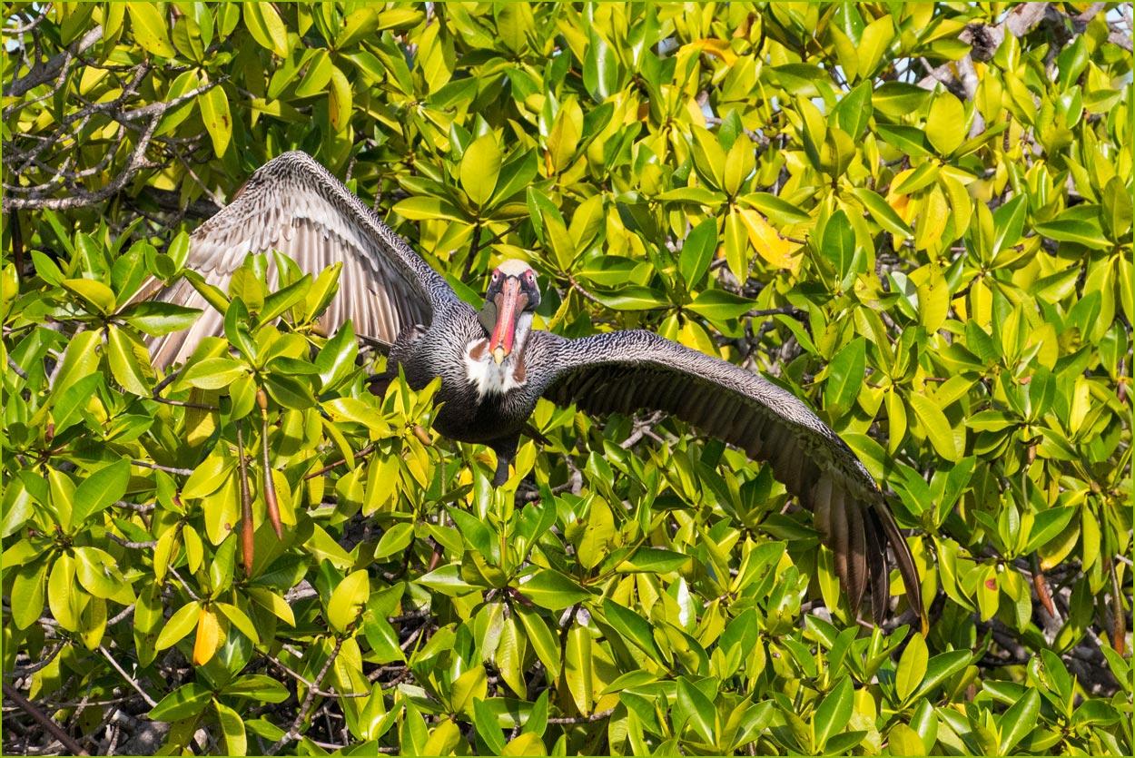 GP087 Fernandina - Braunpelikan / Brown Pelican