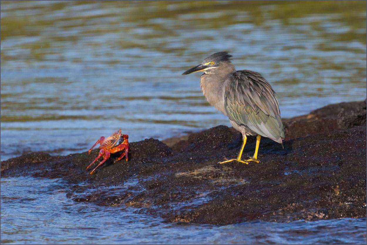 GP088 Fernandina - Mangrovenreiher / Striated Heron