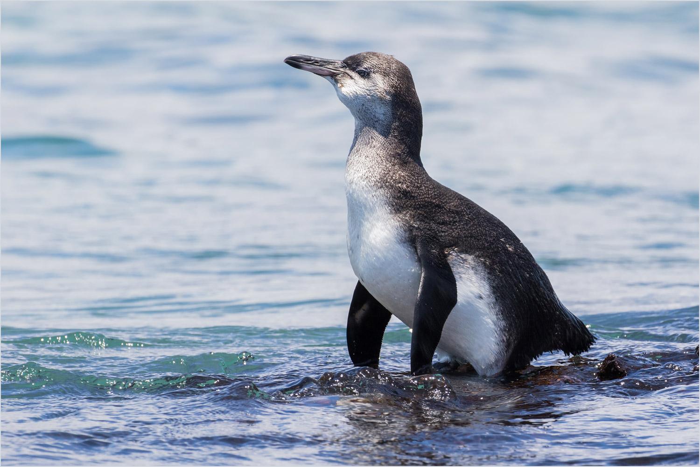 GP090 Isabela - Galapagos-Pinguin / Galapagos Penguin