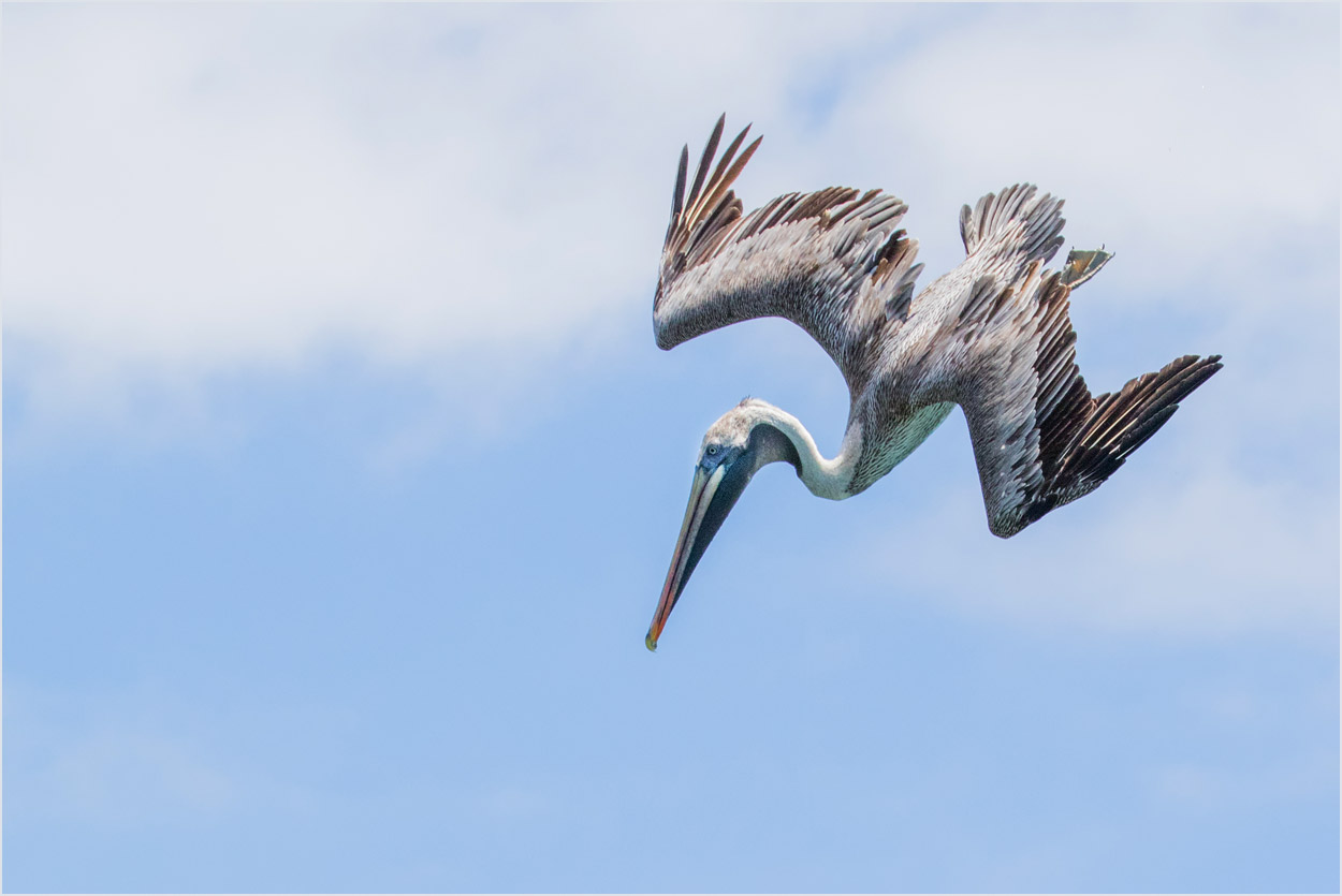 GP092 Isabela - Braunpelikan / Brown Pelican
