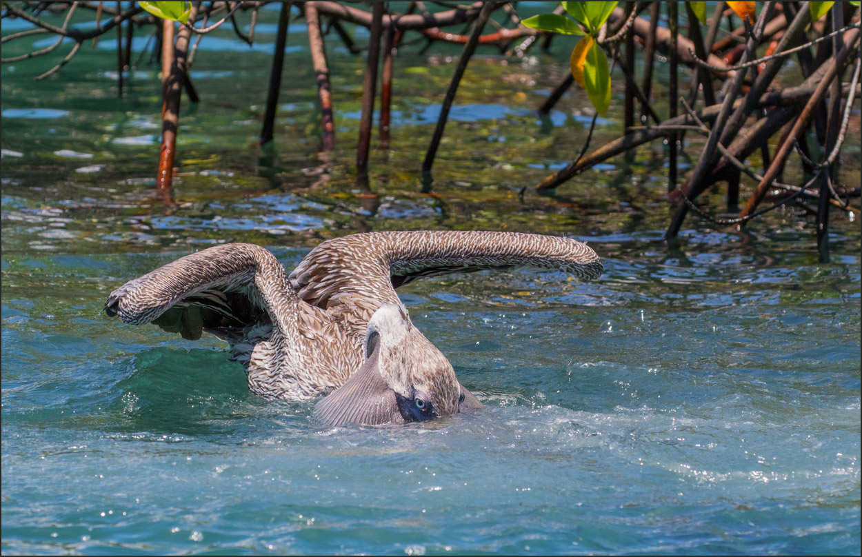 GP093 Isabela - Braunpelikan / Brown Pelican