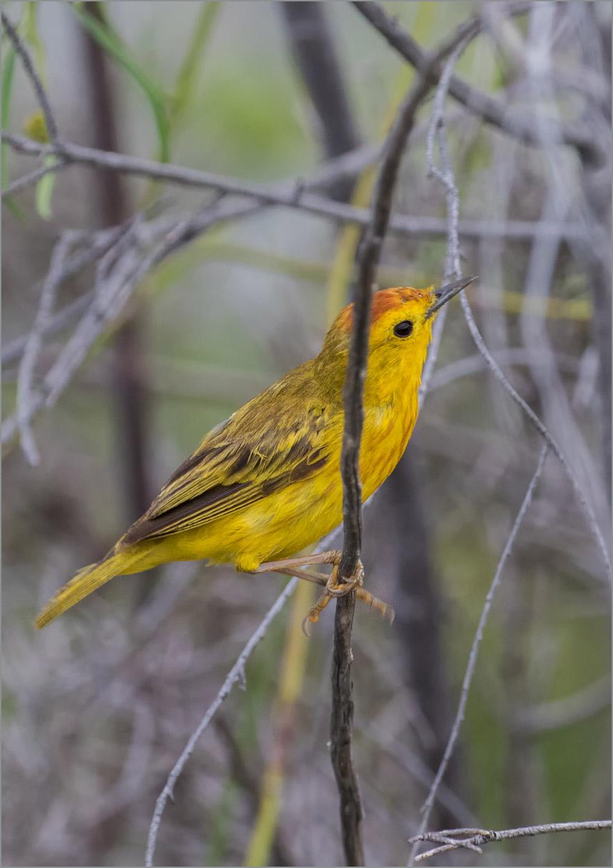 GP098 Isabela - Gold-Waldsänger / Yellow Warbler