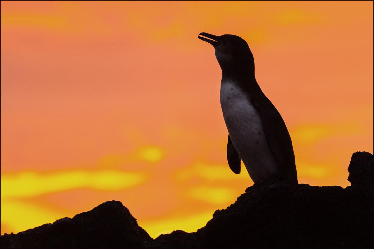 GP107 Isabela - Galapagos-Pinguin / Galapagos Penguin